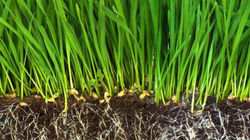 Korzenie Trawy
